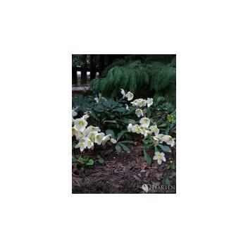 ciemiernik (Helleborus L.)