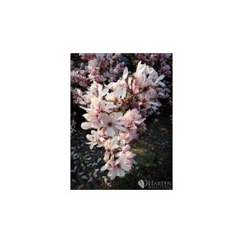magnolia (Magnolia L.)